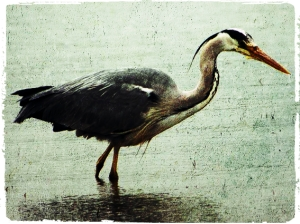 grey_heron_ireland2_fotor
